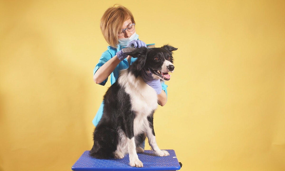 cuidados com border Collie