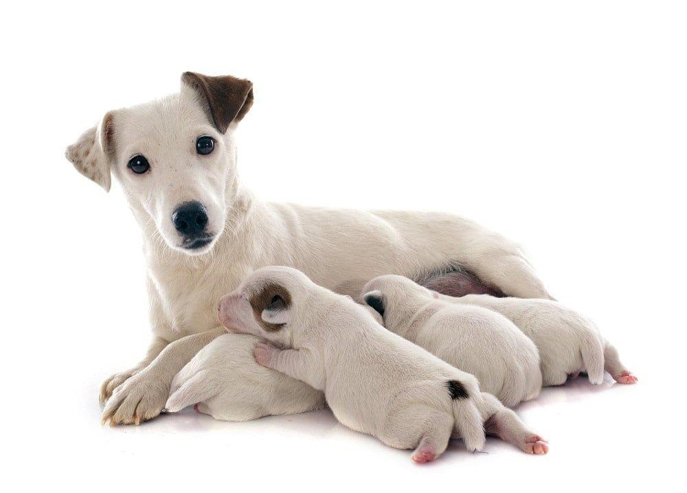 cuidar de um cachorro recém-nascido